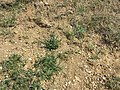 Androsace maxima sl84.jpg
