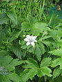 Anemone leveillei maybe (18247210154).jpg
