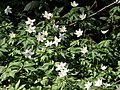 Anemone nemorosa. Llabera de flor blanca.jpg