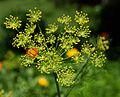 Anethum graveolens kwiatostan 23.06.2012 p.jpg