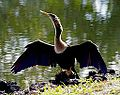 Anhinga at Boggy Creek FL.jpg