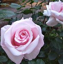Anna Pavlova rose.JPG