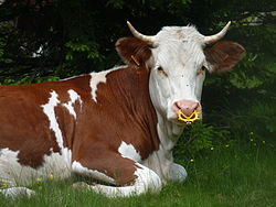 definition of cattle