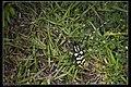 Anoplophora horsfieldi tonkinensis (18175177684).jpg