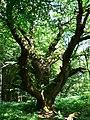 Another oak tree, Savernake Forest, near Cadley - geograph.org.uk - 1369331.jpg