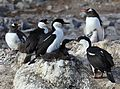 Antarctic Shags at Jougla Point, Antarctica (6063669680).jpg