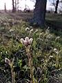 Antennaria howellii iNat-17723250.jpg