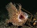 Antennarius striatus (8492976355).jpg