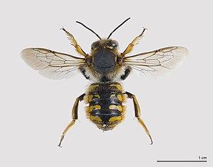 Anthidium manicatum - A male A. manicatum