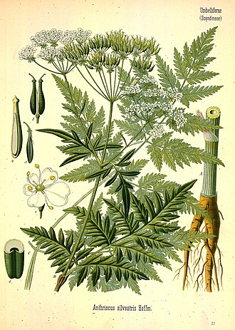 Anthriscus sylvestris - Image: Anthriscus sylvestris (Köhler's Medizinal Pflanzen)
