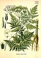 Anthriscus sylvestris (Köhler's Medizinal-Pflanzen).jpg
