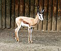 Antidorcas marsupialis Dvur zoo 3.jpg