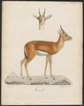 Antilope dorcas - 1700-1880 - Print - Iconographia Zoologica - Special Collections University of Amsterdam - UBA01 IZ21400063.tif