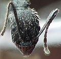 Aphaenogaster spinosa testa.jpg