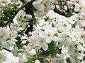 Apple blossom (Malus domestica) 11.JPG