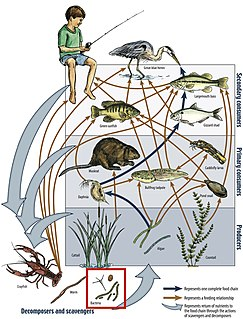 Food web Natural interconnection of food chains