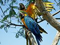 Ara ararauna -two in a tree -Spain-8a.jpg
