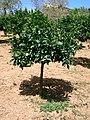 Aranger Citrus maxima.jpg