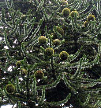 Araucaria - Araucaria araucana with seed cones