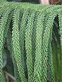 Araucaria subulata (closeup).jpg