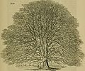 Arboretum et fruticetum Britannicum; or, The trees and shrubs of Britain, native and foreign, hardy and half-hardy, pictorially and botanically delineated, and scientifically and popularly described; (14587204359).jpg