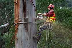 An arborist using a chainsaw to cut a eucalyptus tree in a public parkArborist