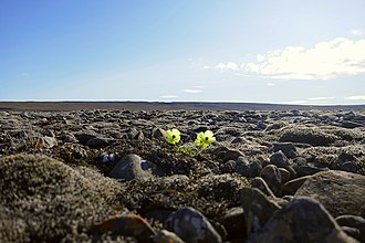 Arctic - Arctic poppy in bloom within the Qausuittuq National Park on Bathurst Island