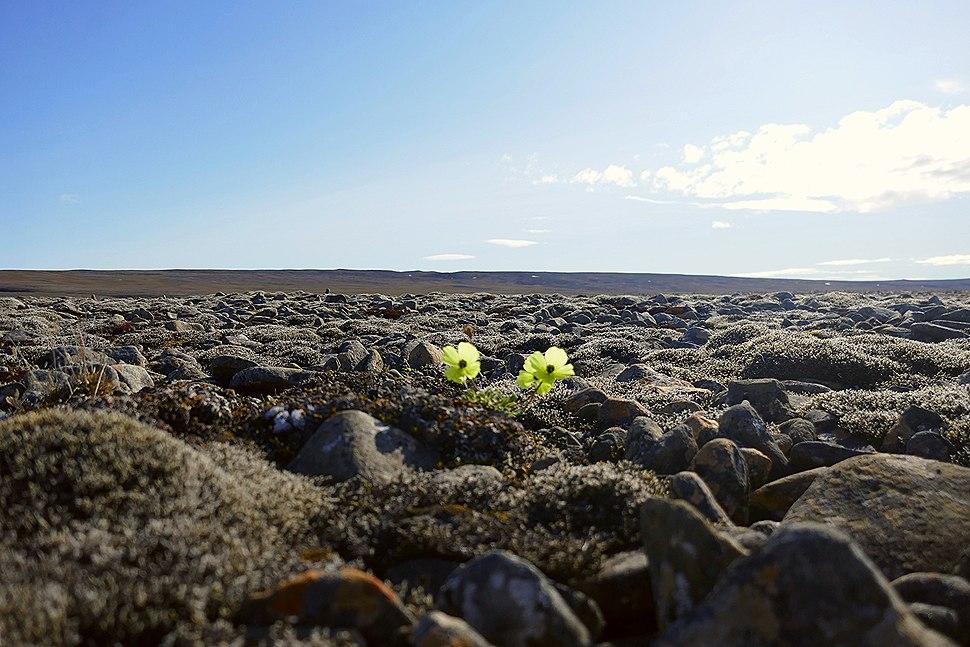 Arctic poppy among rocks