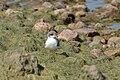 Arctic tern (14643248390).jpg