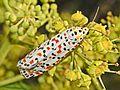 Arctiidae - Utetheisa pulchella-002.jpg