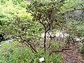 Arctostaphylos viridissima - University of California Botanical Garden - DSC08997.JPG
