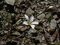 Arenaria capillaris 16902.JPG