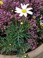 Argyranthemum frutescens zoom.jpg