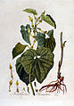 Aristolochia clematitis — Flora Batava — Volume v2.jpg