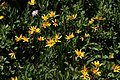 Arnica latifolia 0680.JPG