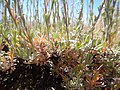 Artemisia arbuscula (28909645356).jpg