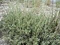 Artemisia arbuscula (5144313056).jpg