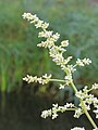 Artemisia lactiflora 02.JPG