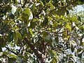 Artocarpus lakoocha (5484892549).jpg