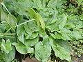 Arum maculatum5.jpg