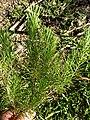 Asclepias linaria (Apocynaceae) - Pineneedle milkweed.jpg