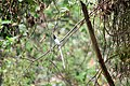 Asian Paradise Flycatcher at Nagarjun Forest (4).jpg