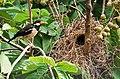 Asian Pied Starling (Sturnus contra) at nest on Jarul (Lagerstroemia speciosa) in Kolkata I IMG 8745.jpg