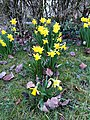 Asparagales - Narcissus pseudonarcissus - 4.jpg