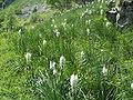 Asphodelus albus2.jpg