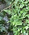 Association lierre (hedera helix) et Fougère (Polypodium vulgare) en épiphyte Marenla 03 aout 2017 02.jpg