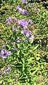 Aster novae-angliae 0zz.jpg