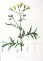 Asteraceae sp SZ84.png