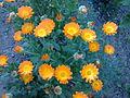 Asterales - Calendula officinalis 3.jpg