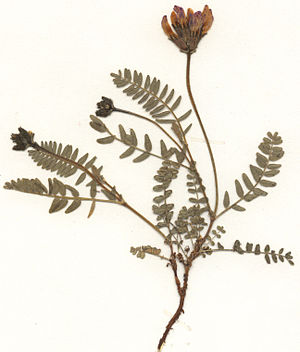 California Hall - Example of a pressed herbarium specimen (Astragalus danicus Herbar)